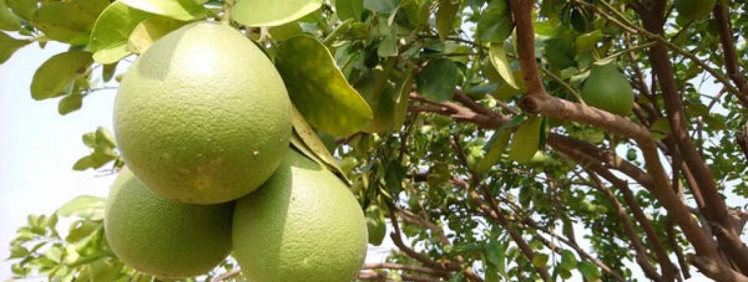 【果園記錄】最近天氣好冷哦~麻豆文旦柚也冬眠囉!